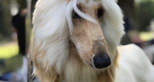 Panorama gratuito para toda la familia: exposición canina Kennel Club Chile